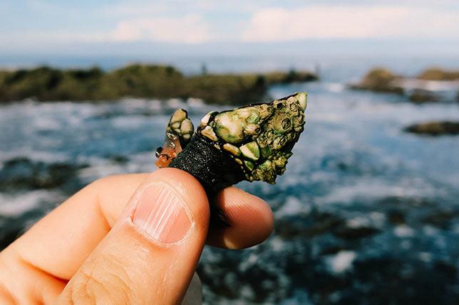 Sea barnacles fishing tour in Galicia