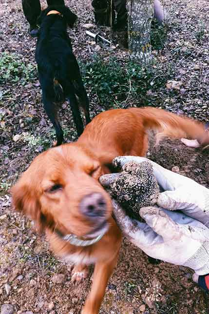 Meet our truffle hunting dogs with a day trp from Barcelona